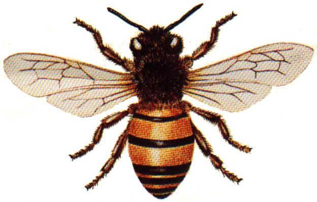 Honey_Bee